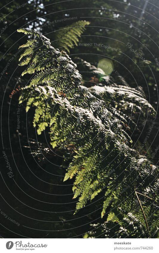 Farne im Wald Umwelt Natur Pflanze Sträucher Grünpflanze Wildpflanze grün Farbfoto Gedeckte Farben Außenaufnahme Tag Licht Schatten Kontrast