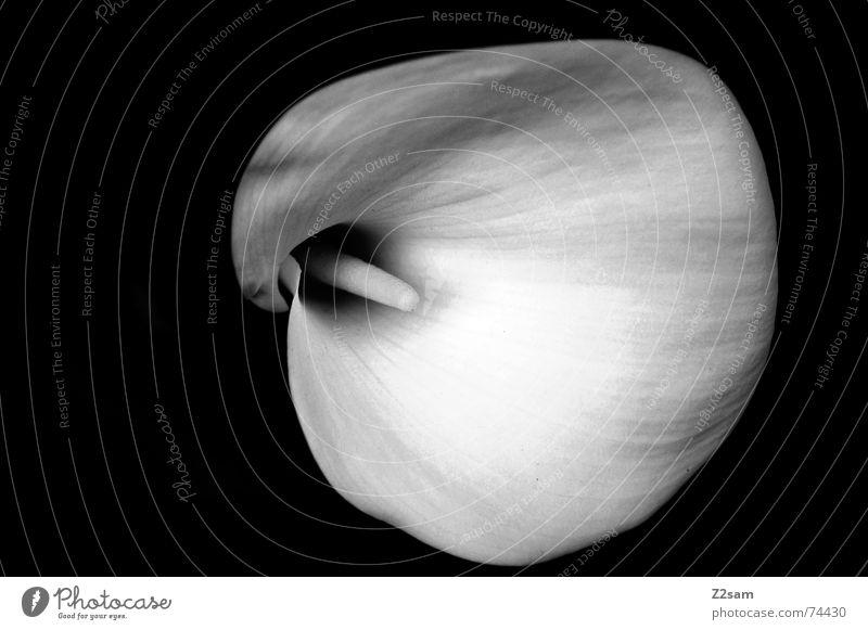 white flower Blume Makroaufnahme Trichter rund Natur einfach weisse blume Schwarzweißfoto Strukturen & Formen elegant edel