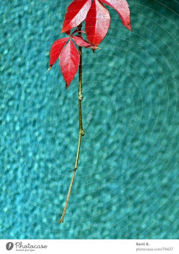 hängengeblieben Herbst rot türkis Jahreszeiten Abschied Fröhlichkeit Blatt welk Herbstfärbung kalt frisch baumeln Sträucher Baum sehr wenige Renovieren Hausbau