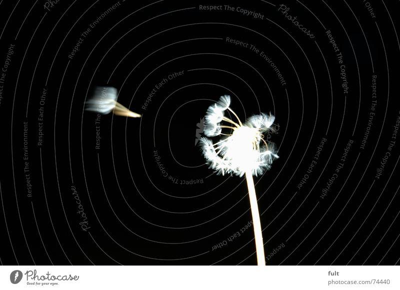pusteblume1 weiß ruhig schwarz Wind fliegen Löwenzahn blasen Dynamik Schwung