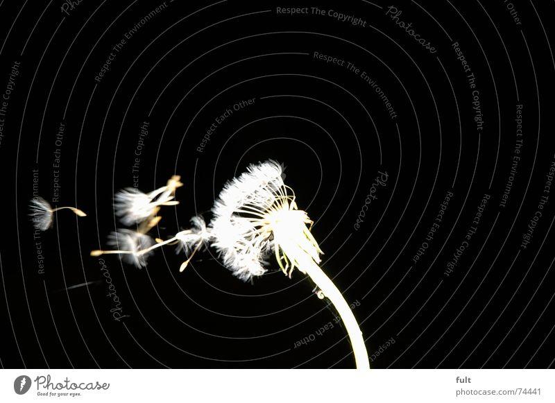 pusteblume2 weiß ruhig schwarz Wind fliegen Löwenzahn blasen Dynamik Schwung