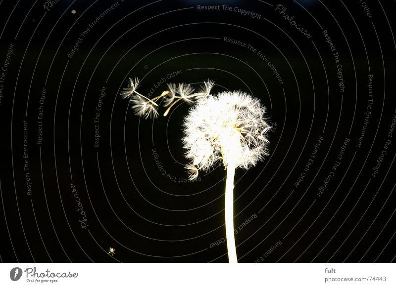 pusteblume3 Löwenzahn blasen ruhig Schwung schwarz weiß Makroaufnahme fliegen Wind Kontrast Dynamik