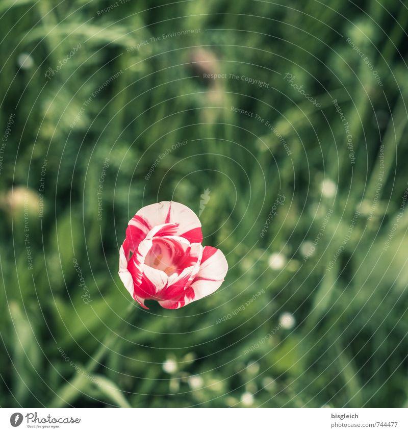 Tulipan Frühling Pflanze Blume Tulpe Blühend grün rot weiß Farbfoto Außenaufnahme Textfreiraum oben Tag Schwache Tiefenschärfe