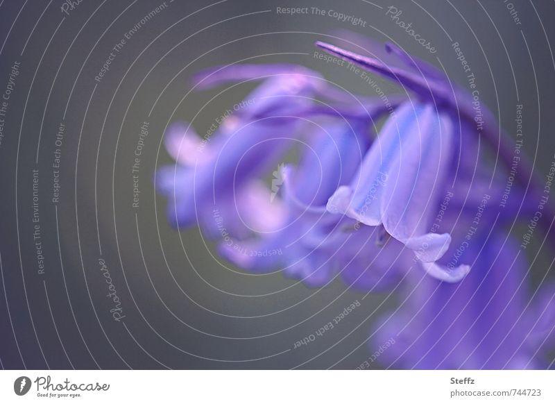 Hasenglöckchen Waldhyazinthe Wildpflanze Frühlingsblume Waldpflanze Waldblume Bluebell violett Romantik April Mai Frühlingsblumen Gewöhnliches Hasenglöckchen