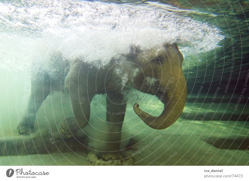 Wasserfant Unterwasseraufnahme Wasser grün Sommer Freude Tier Schwimmen & Baden außergewöhnlich nass einzigartig tauchen tief Zoo Leipzig blasen Säugetier
