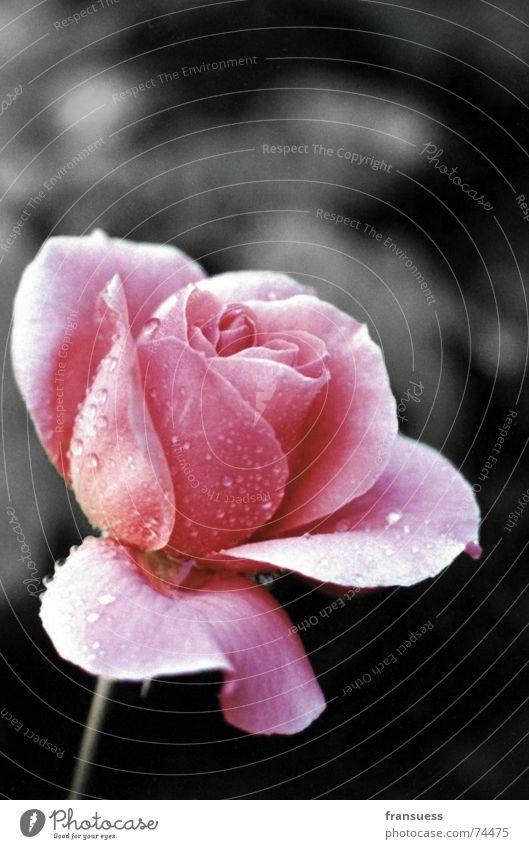 a rose is a rose is a rose Wasser Blume Pflanze rot Blüte Regen rosa Wassertropfen Rose Romantik Kitsch zart sanft