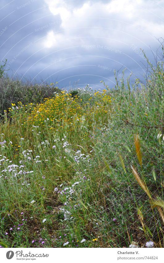 #100 - Da braut sich was zusammen Himmel Natur blau grün Pflanze Sommer Blume dunkel gelb Wiese Gras grau natürlich Stimmung rosa leuchten