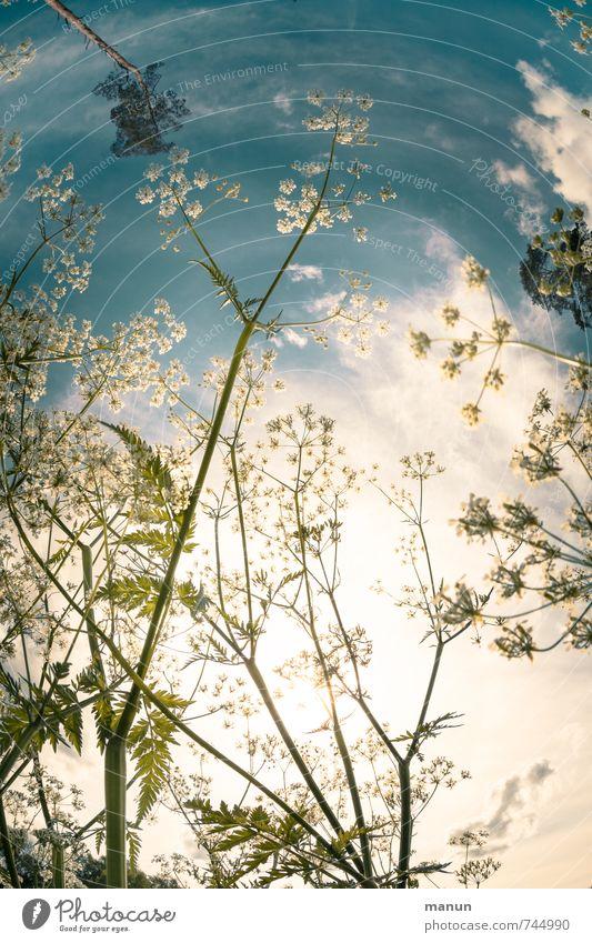 Maihimmel Umwelt Natur Pflanze Himmel Sonne Frühling Sommer Schönes Wetter Blume Sträucher Blüte Wildpflanze Wiese Fröhlichkeit natürlich positiv blau weiß