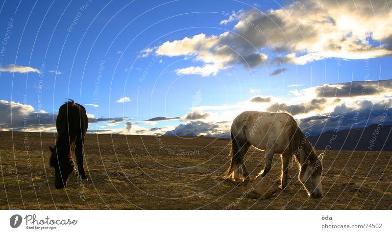 Pferdchen in der Abendsonne Himmel Sonne blau Wolken Ernährung Tier Stimmung Indien Weide Fressen