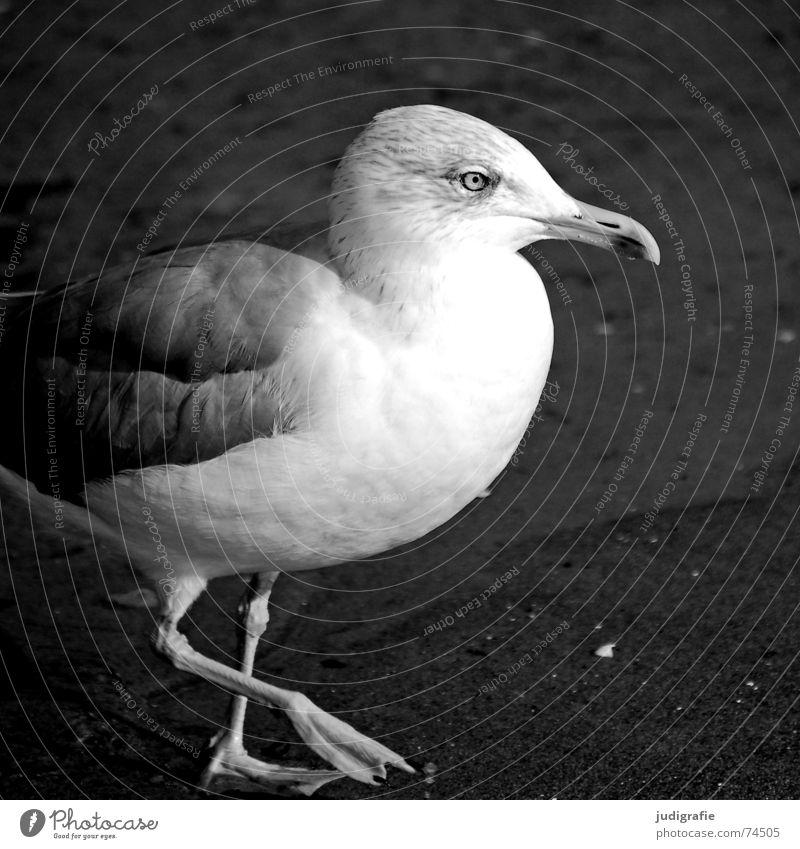 Silbermöwe Meer Strand See Sand Vogel Küste Feder Ostsee Möwe Schnabel Tier