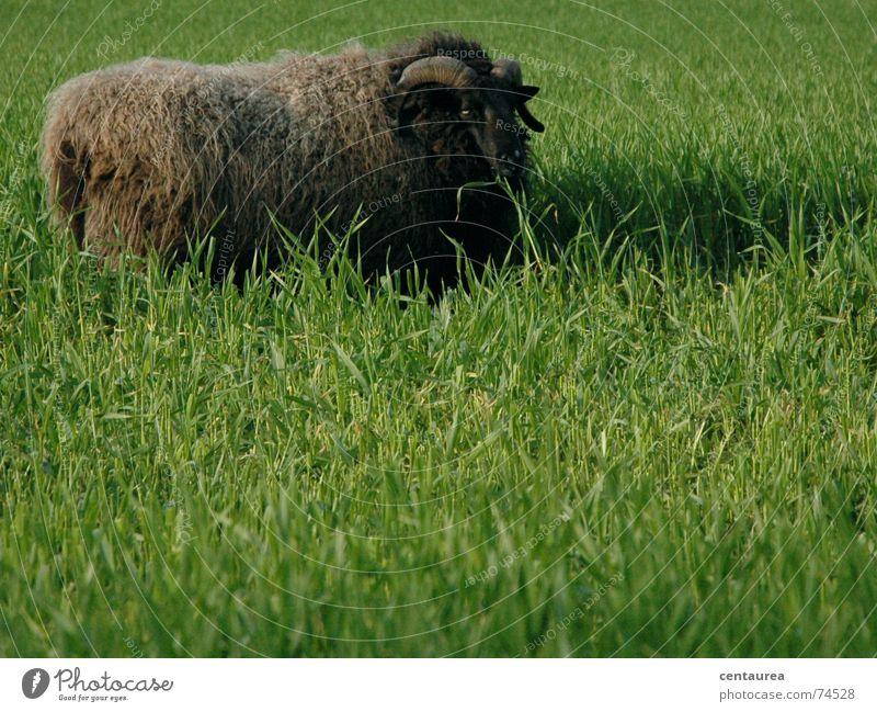 Vorsicht bockig! Schaf Bock grün Wiese ruhig Erholung Fressen Gras Fell Schaffell Ferne gefährlich Stofftiere Lamm Lammfleisch Natur Horn
