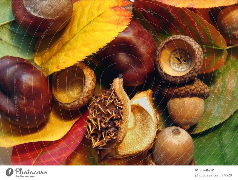 Farben des Herbstes Blatt mehrfarbig rot gelb grün stachelig hohl rund Erholung Stimmung braun Makroaufnahme Nahaufnahme Eicheln Kastanienbaum Nahmaufnahme