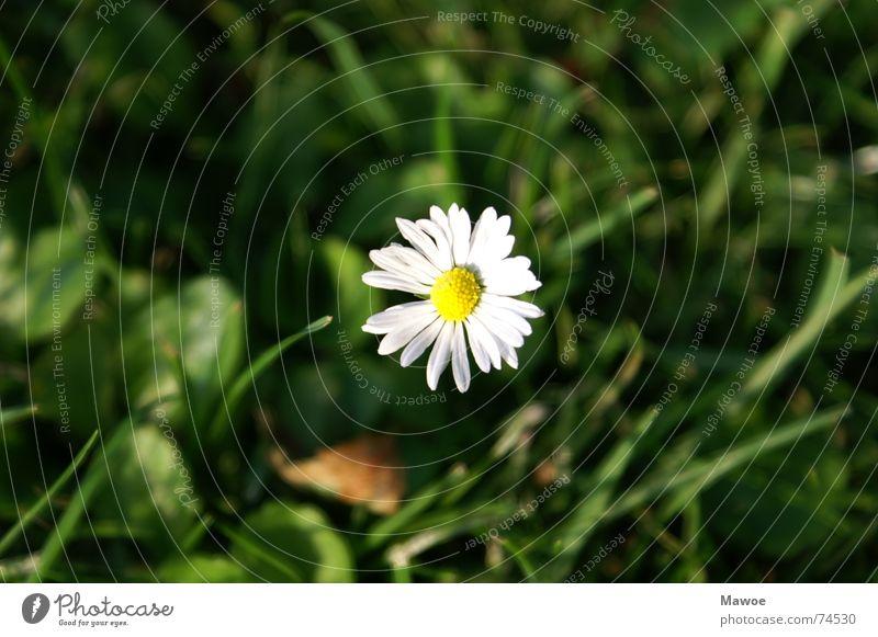 Einsame Blume Einsamkeit ruhig Wiese Garten Kraft Frieden Gänseblümchen harmonisch Waldlichtung