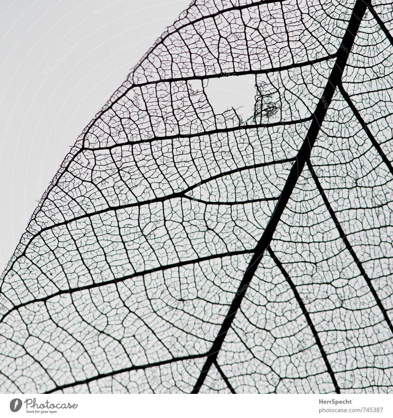 verwundet Blatt Grünpflanze ästhetisch kaputt klein schön trocken Blattadern Blattfaser zart durchscheinend durchsichtig verästelt winzig Stoff Wunde Loch