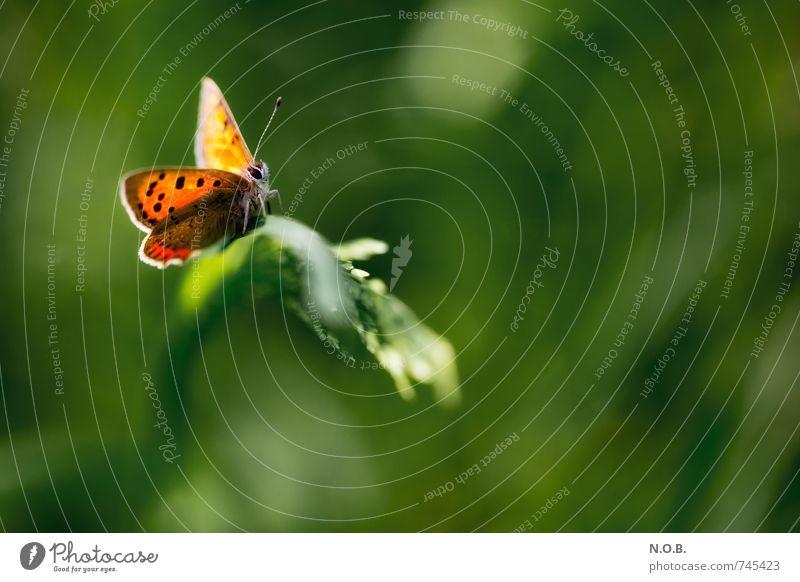 Im Lichte des Schmetterlings Natur Tier Frühling Schönes Wetter Gras Garten Park Wiese Feld Wildtier 1 ästhetisch frei grün orange Vertrauen schön Leben Farbe