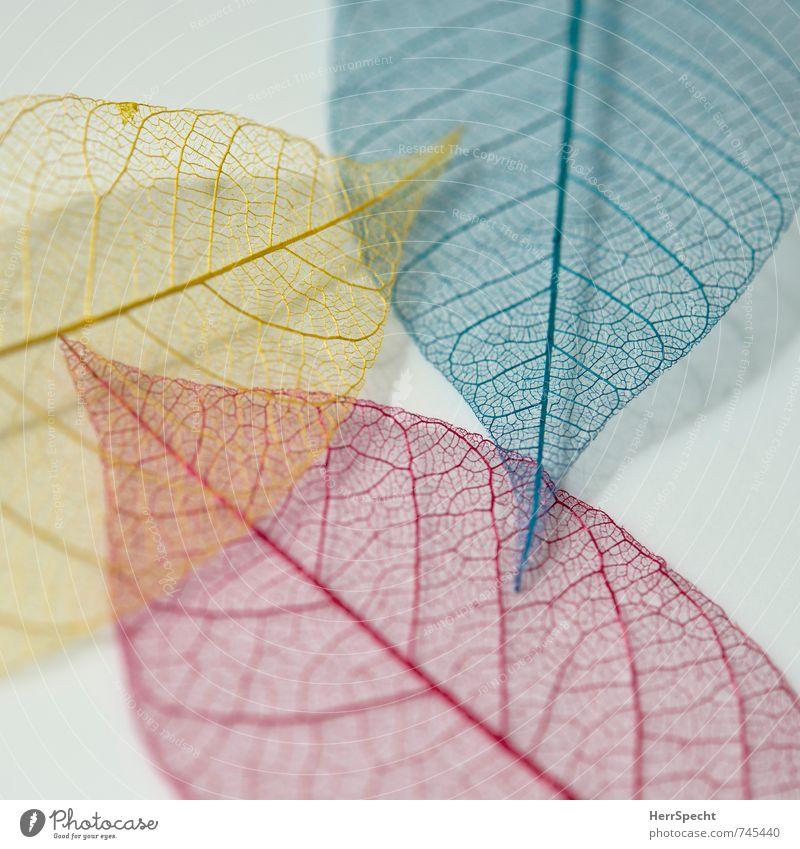 tri colore Blatt blau gelb rot durchscheinend durchsichtig Blattadern Blattfaser Farbe winzig Dekoration & Verzierung 3 Zusammensein Farbfoto Innenaufnahme