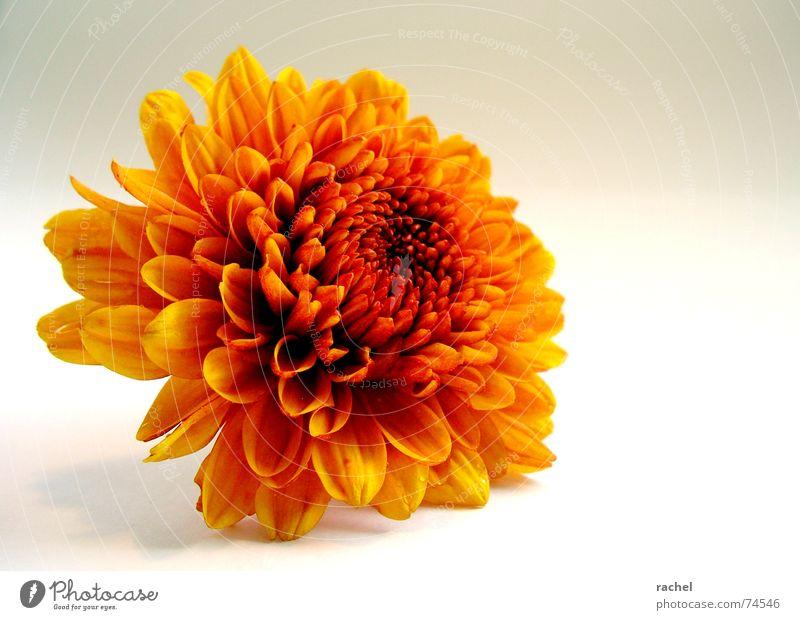 Herbstgold Chrysantheme kopflos Blume Blüte Pflanze frisch einfach Freundlichkeit mehrfarbig Fröhlichkeit schön glühend strahlend Oktober September gelb rot