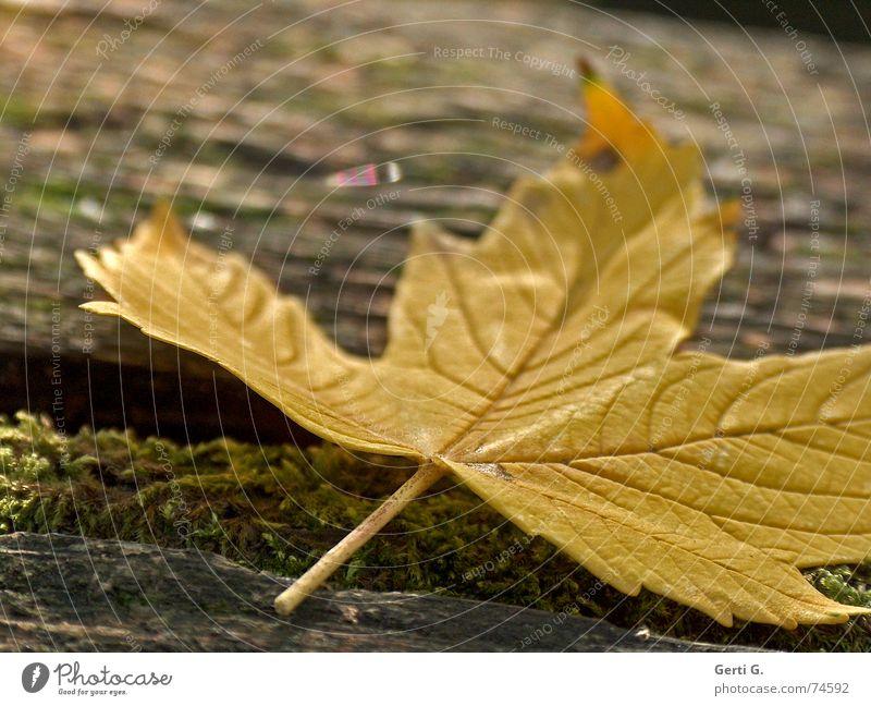 flachlegen Baum Blatt gelb Herbst Spaziergang liegen Müll fallen Jahreszeiten Sturz Absturz Maserung mögen herbstlich Herbstfärbung