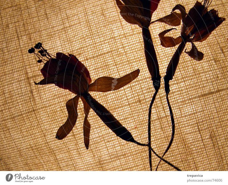 blueten Blume trocken Physik zart Licht 3 braun Herbst Trockenblume Pflanze Blüte durchsichtig Wärme Silhouette