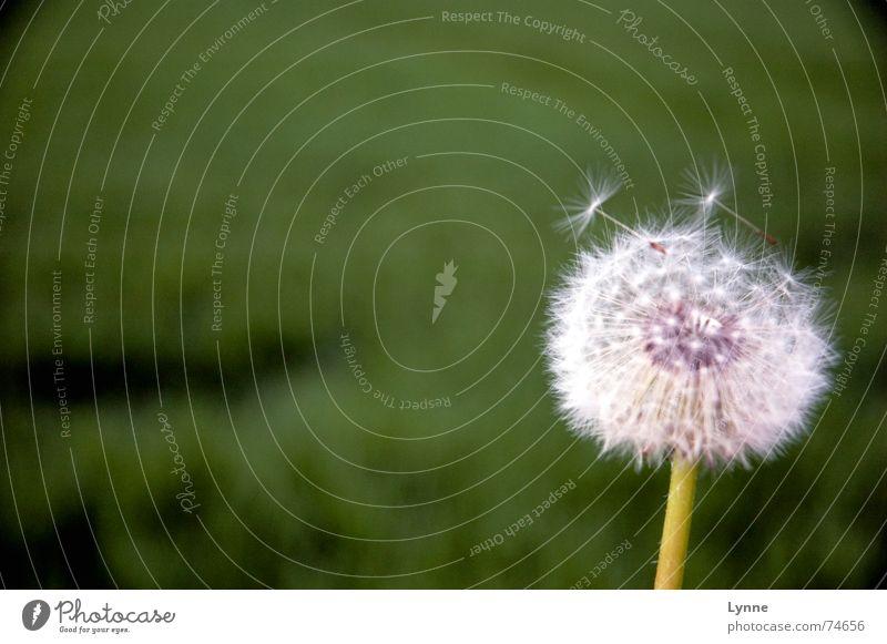 Vom Winde verweht II weiß Blume grün Sommer Wiese Feld Wind weich Stengel Löwenzahn sanft
