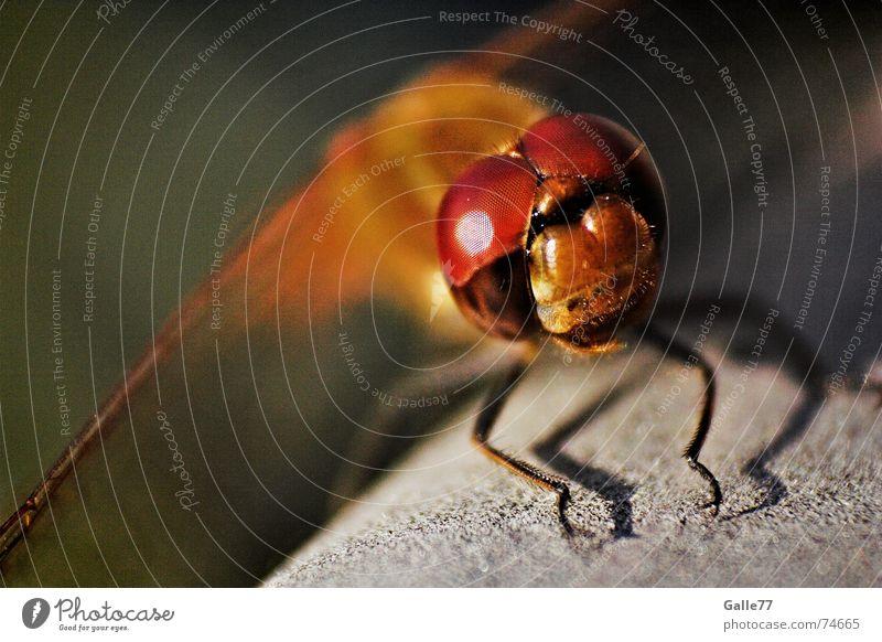 Doppeldecker I Auge fliegen Flügel Insekt Fühler Selbstständigkeit Libelle Borsten Facettenauge