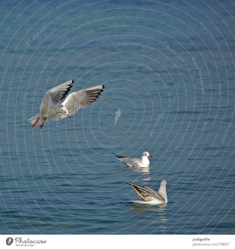 Drei Möwen Wasser Meer Tier See Vogel fliegen Beginn 3 Luftverkehr Feder Flügel Flugzeuglandung Ostsee Lachmöwe