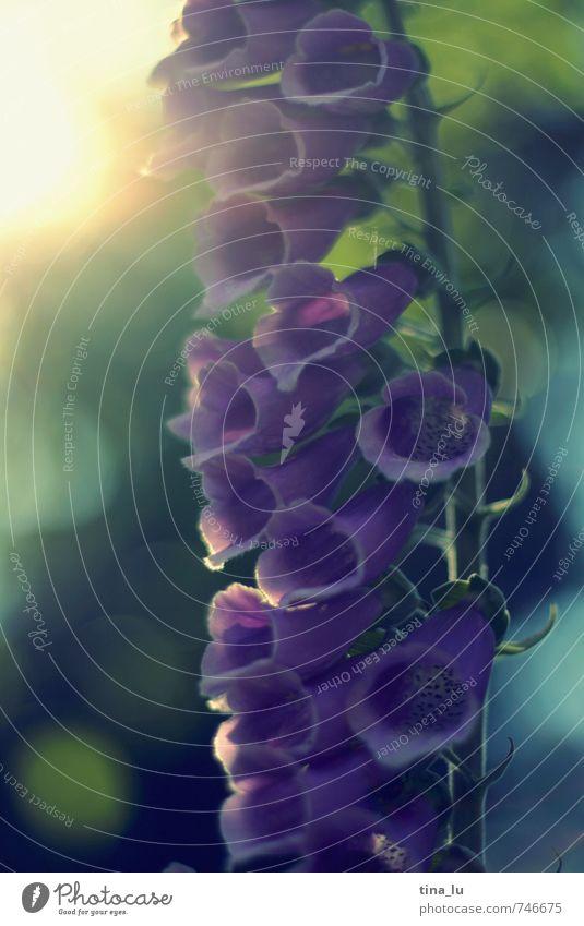 Sommerglocken Natur grün Pflanze Wald gelb Umwelt Frühling Blüte Kraft Zufriedenheit ästhetisch violett Stolz sommerlich Glocke