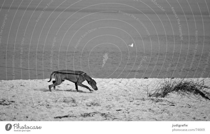 Leinenzwang Wasser Strand Meer Tier Bewegung Sand Hund Küste See Feste & Feiern Nase Seil Eisenbahn Spuren Möwe Ostsee