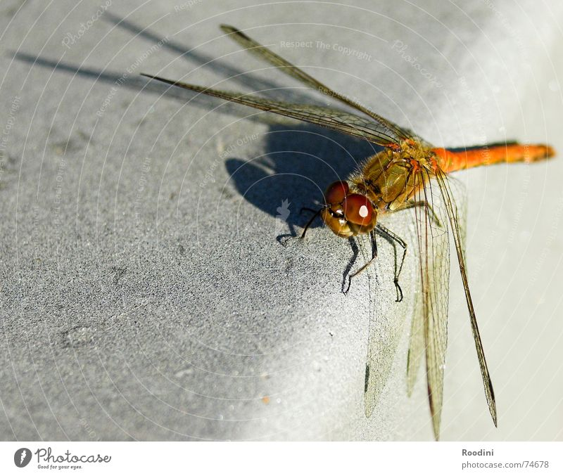 Ornithopter Libelle Insekt Fluginsekt Tier Makroaufnahme mehrfarbig Facettenauge Glubschauge Fühler Flügel Schatten Natur Perspektive Ganzkörperaufnahme