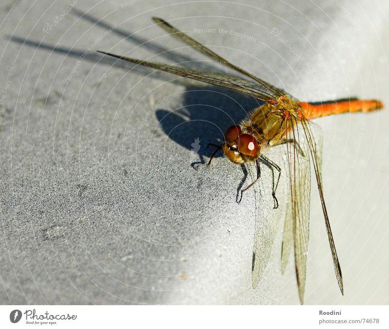 Ornithopter Natur Tier Perspektive Flügel Insekt Fühler Libelle Facettenauge Glubschauge Fluginsekt Vor hellem Hintergrund