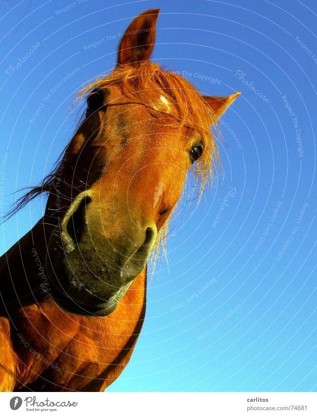 WaSgUcKStDu vorwitzig Pferd Mähne Nüstern wiehern Veterinär Neugier lustig diagonal ohren gespitzt Maul verrückt Neigung