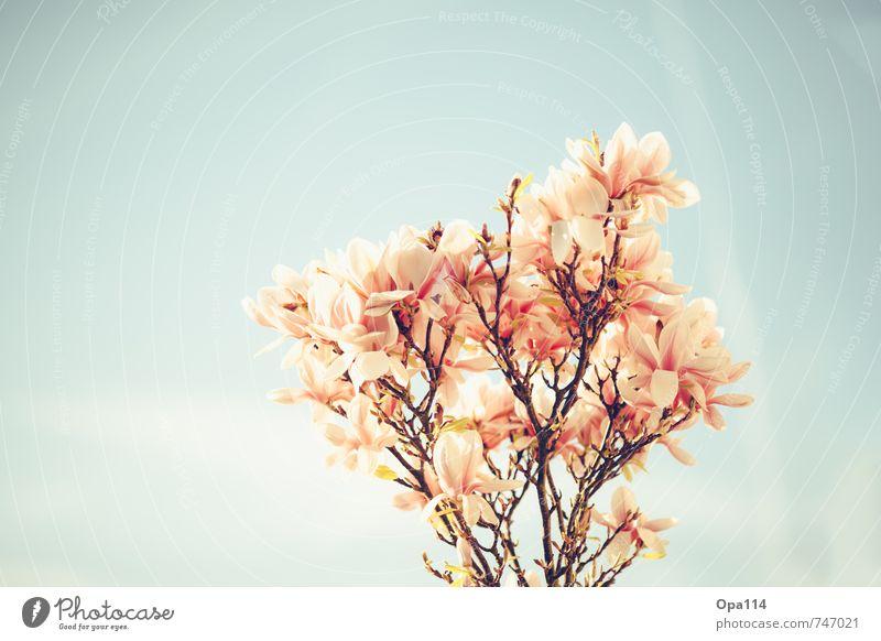 Magnolia Himmel Natur blau schön Pflanze Baum rot Blatt Tier Umwelt Frühling Blüte Garten rosa Park Wachstum
