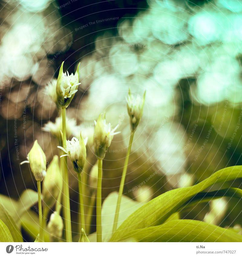 Bär Lauch Umwelt Natur Landschaft Pflanze Tier Frühling Sträucher Blatt Blüte Nutzpflanze Wildpflanze Bärlauch Blühend Duft verblüht Wachstum frisch Gesundheit
