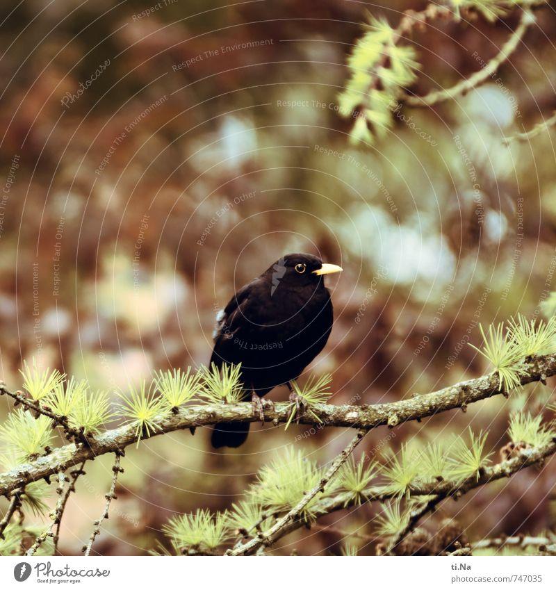 feel free Frühling Baum Lärche Garten Park Wald Wildtier Vogel Amsel 1 Tier hocken sitzen warten authentisch Neugier blau braun gelb grau grün schwarz Farbfoto