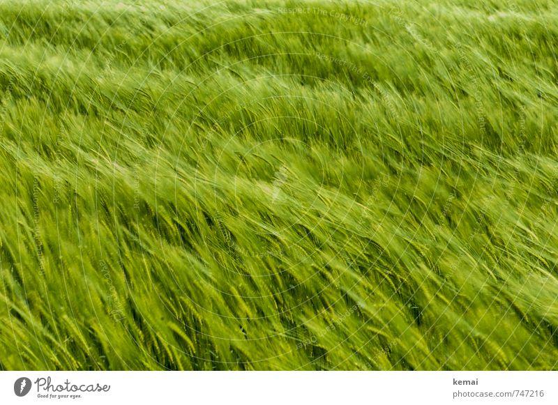 The wind that shakes the barley Umwelt Natur Frühling Schönes Wetter Pflanze Nutzpflanze Gerste Gerstenfeld Feld Freundlichkeit frisch saftig schön grün Wind
