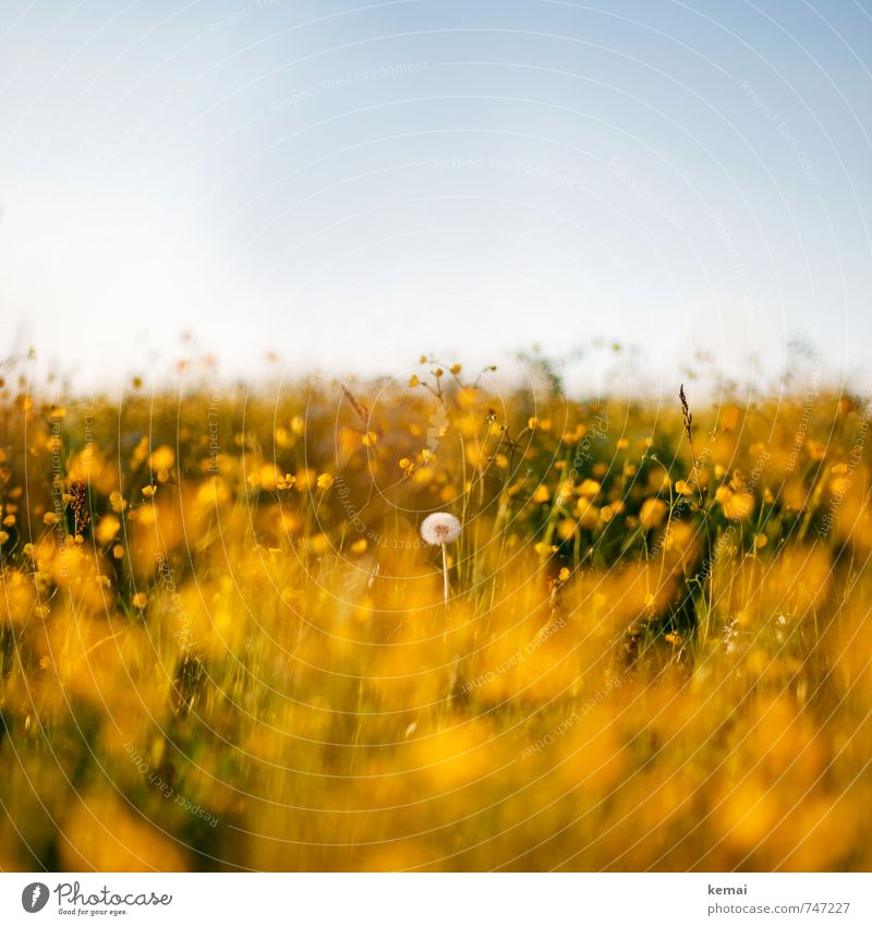 Last Pusteblume standing Umwelt Natur Landschaft Pflanze Himmel Wolkenloser Himmel Sonnenlicht Frühling Sommer Schönes Wetter Wärme Blume Blüte Grünpflanze