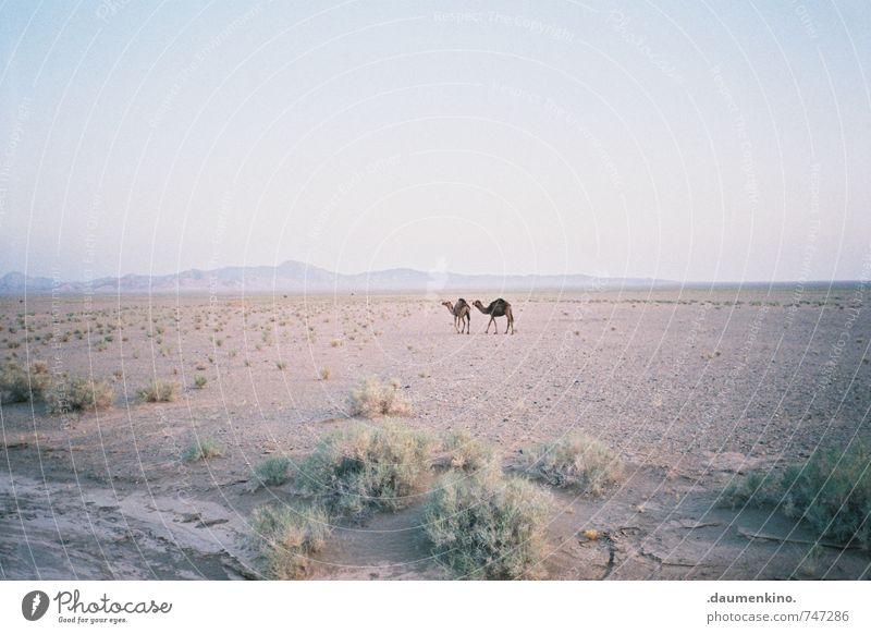 ~ ~ Natur Landschaft Dürre Wüste Tier Kamel 2 beobachten Bewegung entdecken wandern frei Unendlichkeit natürlich Zusammensein Gelassenheit ruhig