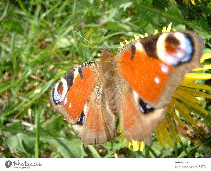 fragile Natur Sonne Farbe Pause nah Schmetterling leicht