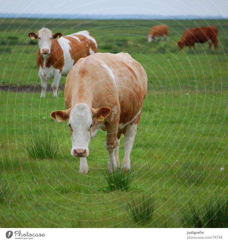 Heile Welt Himmel weiß grün Wiese Ernährung Gras Lebensmittel braun Gesundheit Fell Landwirtschaft Kuh saftig Rind Tier Molkerei