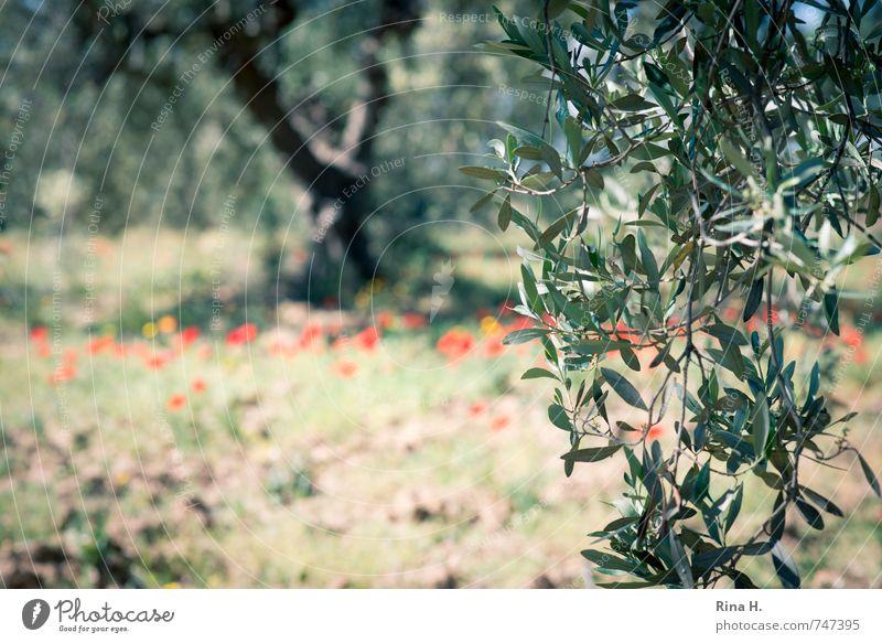 OlivenBaum Landwirtschaft Forstwirtschaft Natur Frühling Schönes Wetter Blume Feld authentisch Olivenblatt Olivenzweig Olivenbaum Mohn Olivenhain Farbfoto