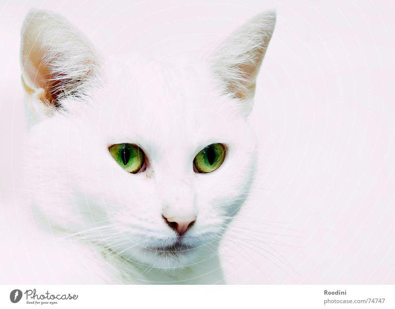 Katzenaugen weiß Auge Tier Haare & Frisuren Ohr Fell Jagd Wachsamkeit Publikum Haustier Krallen Hauskatze Schnurrhaar Miau Reflektor