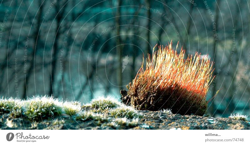 Moos - kleines Sonnenigelchen Natur Frühling Wärme Wald leuchten stachelig Igel Nahaufnahme Gegenlicht