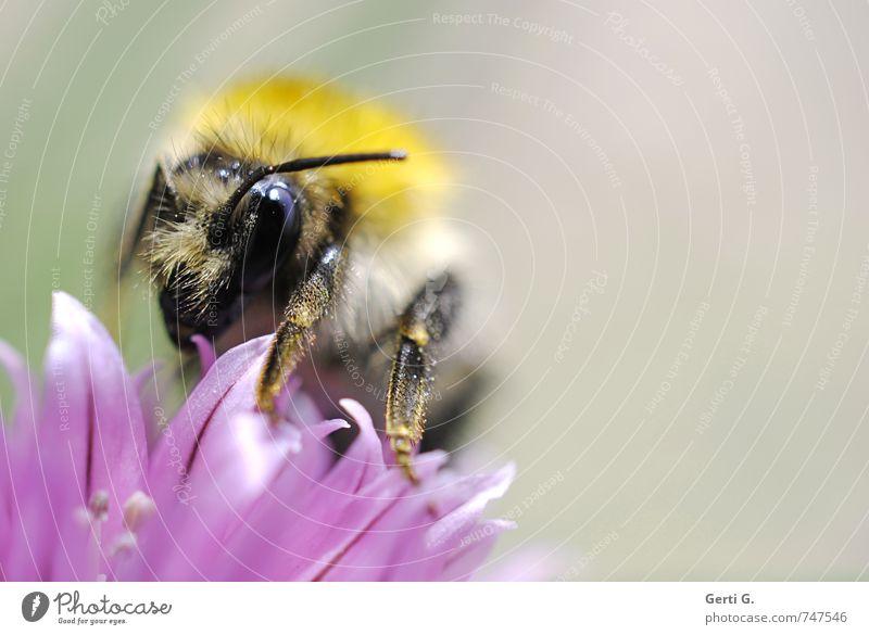 dicke Hummel auf Schnittlauchblüte Tier Biene Insekt 1 gigantisch nah weich gelb violett Tatkraft gewissenhaft Appetit & Hunger ästhetisch Konzentration Natur