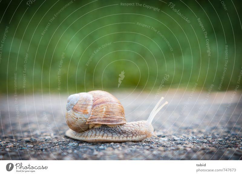 Jetzt aber schnell ... Asphalt Straße Tier Schnecke 1 rennen glänzend Geschwindigkeit Natur langsam krabbeln Weinbergschnecken Schneckenhaus Farbfoto