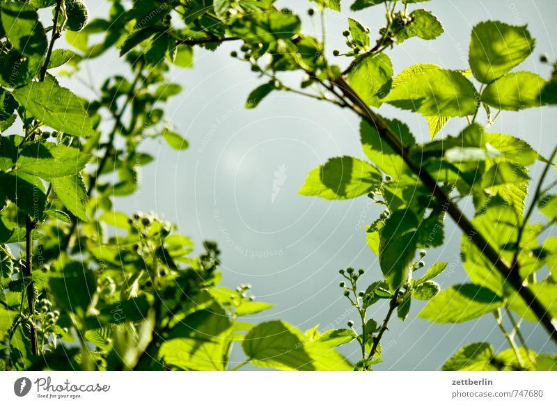 Him oder Brom Himmel Natur Pflanze Wolken Blatt Freude Wald Umwelt Frühling Berlin Garten Freizeit & Hobby Park Wetter Wachstum Sträucher