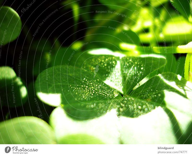 Hard Shadows Sonne Wassertropfen Märchen Märchenwald Klee grün rot Reflexion & Spiegelung frisch feucht nass Blüte Pflanze Makroaufnahme klein aber fein