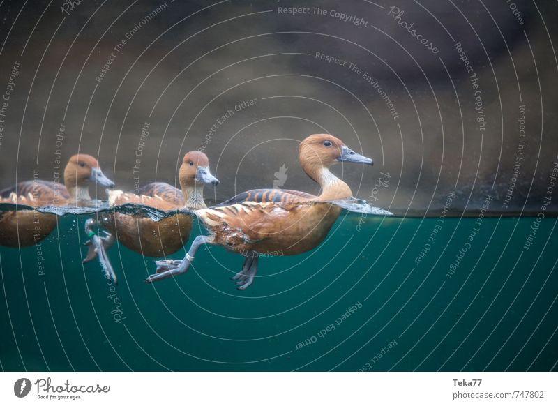 Entenausflug Tier außergewöhnlich Wildtier ästhetisch Tiergruppe Aquarium