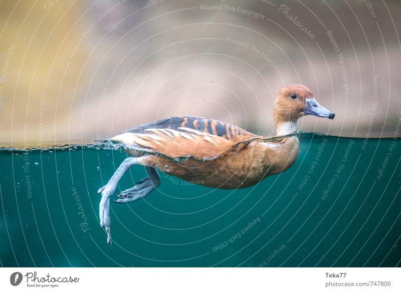 Ente Ausflug Umwelt Natur Landschaft Tier Wildtier 1 Schwimmen & Baden tauchen Ehrlichkeit authentisch beweglich Wasseroberfläche Farbfoto Innenaufnahme