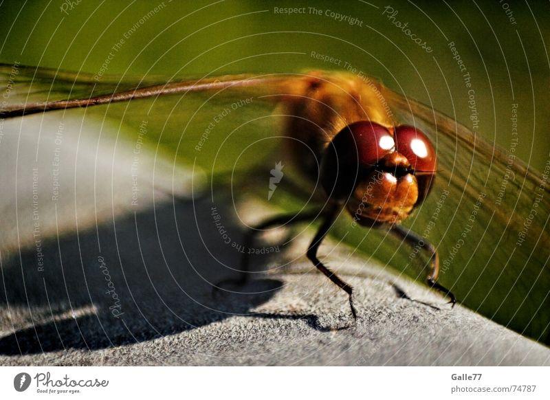 Doppeldecker II Libelle Insekt Facettenauge Fühler Borsten Flügel Auge punktaugen sehsinn fliegen fassetten flugapparat Makroaufnahme Selbstständigkeit