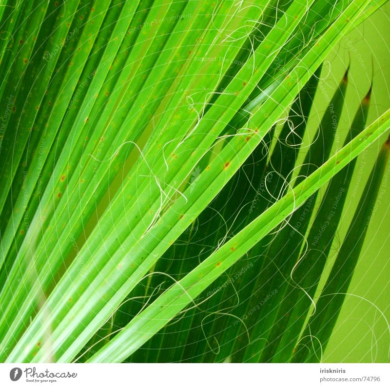 Palmwedel Palmenwedel Pflanze grün Wohnzimmer durcheinander glänzend grasgrün trocken exotisch Zweig Natur Detailaufnahme Linie Spitze Nähgarn